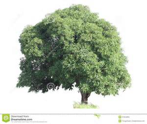 Small Home Design Plans Mango Tree Royalty Free Stock Image Image 31554806