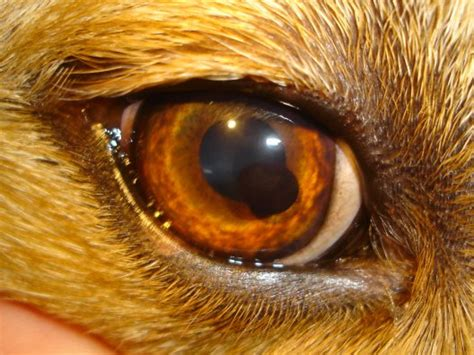 golden retriever cysts akorn common eye diseases