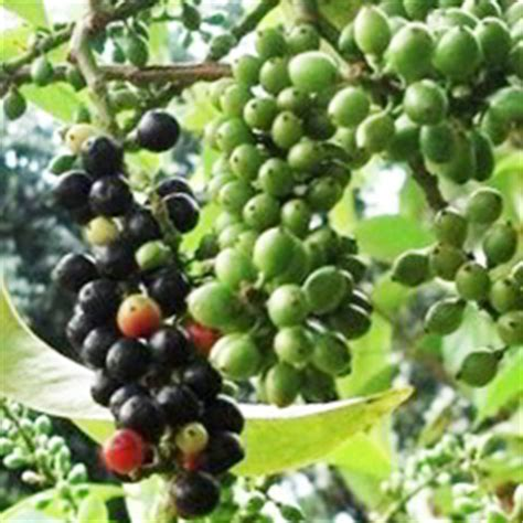 jenis tanaman obat keluarga toga  kandungan