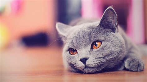 cat wallpaper for mac fondos de escritorio de gatos fondos de pantalla de gatos