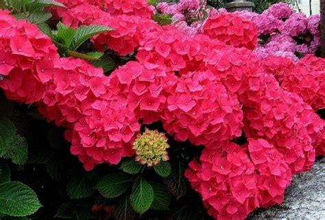 hortensias flores imagenes las hortensias mitos y curiosidades sobre el color de sus