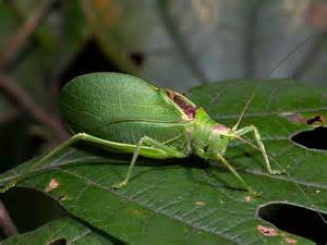 picture of insects common true katydid songs of insects