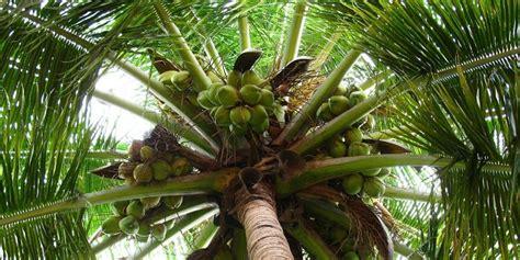 kandungan dan manfaat buah kelapa deherba com