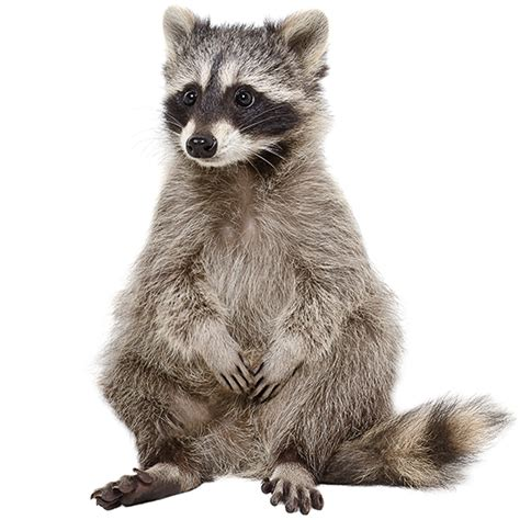 raccoon images raccoon png transparent raccoon png images pluspng