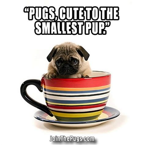 pug cup cup o pug join the pugs