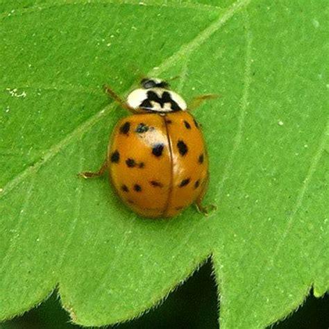 orange ladybugs orange 9 spot ladybug gardening helper