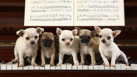 puppies on chihuahua puppies on the piano walldevil