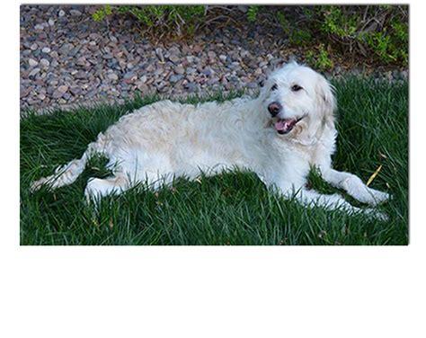 mini goldendoodles las vegas doodles mini goldendoodles standard size