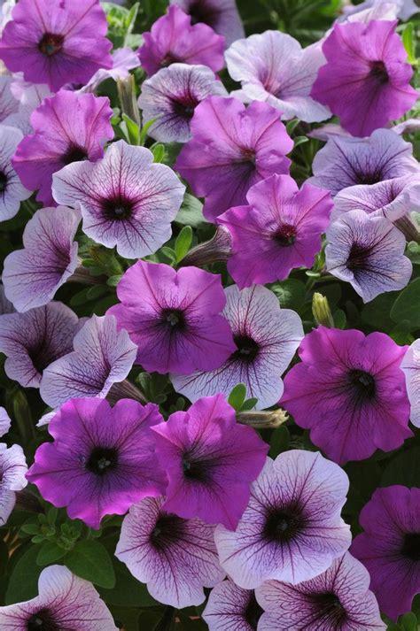 112 best wave petunias images on pinterest geraniums petunias and golf