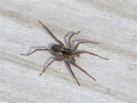 spiders backyard and beyond gogo papa