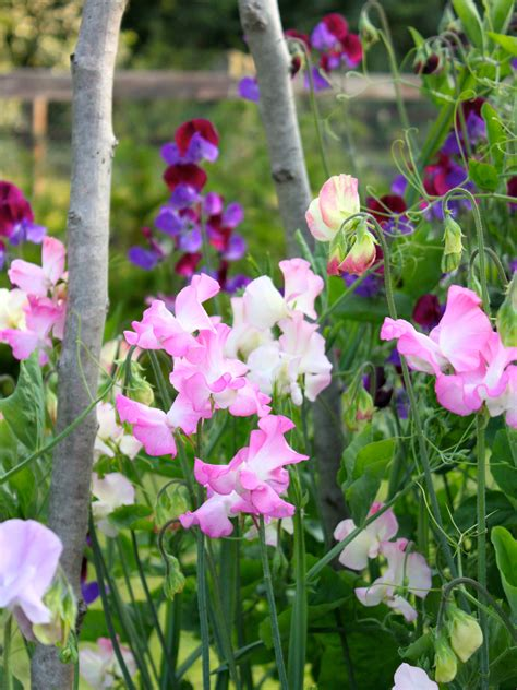 how to grow sweet peas peonies posies