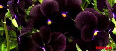 Jual Bibit Anggrek Hitam Papua update harga tanaman langka bunga anggrek hitam papua