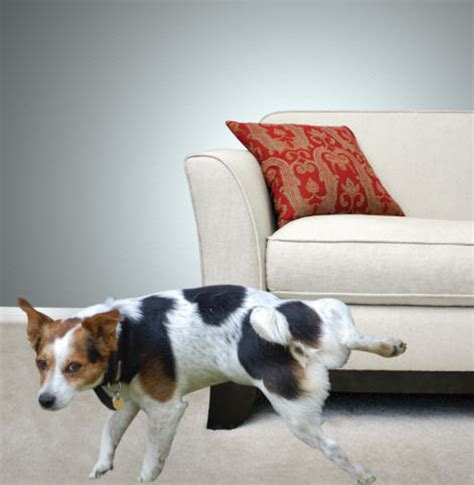 stop dog from peeing on couch removing urine odors and stains how to build a house