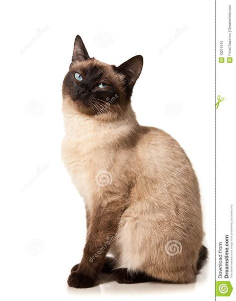 siamese cat royalty  stock image image