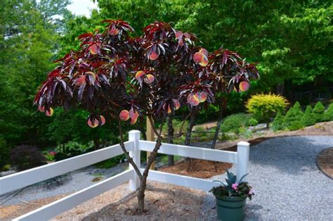 Patio Gardening Containers Red Leaf Patio Peach Tree Amazing Red Leaved Fruiting Peach
