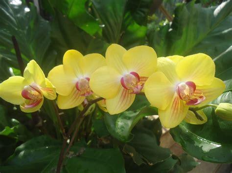 wallpaper pesona bunga anggrek bulan kuning rumah daun muda