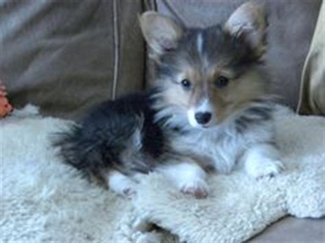 corgi yorkie mix sheltie corgi mix search animals photos collie and corgis