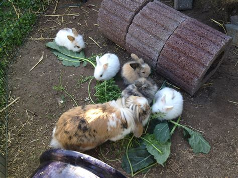 ab wann sind kaninchen geschlechtsreif tieranzeigen zwergkaninchen kleinanzeigen