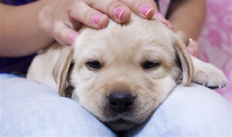 puppy yellow lab 15 puppy potty problems solved