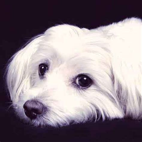cataracts in dogs when dogs get cataracts petcarerx