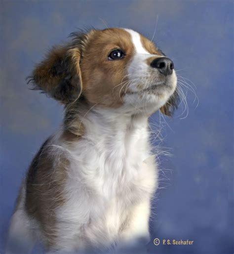 kooikerhondje puppies 17 best images about kooikerhondje on toilets baroque and the morning