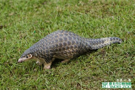 imagenes animales con escamas launch of new pangolin conservation website edge of