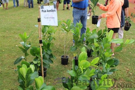 Free Tree Giveaway 2016 - pearl city just got a little greener mahalo heco mypearlcity com pearl city hawaii