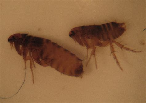 with fleas with fleas in house 28 images get rid fleas your house mice and fleas two pest