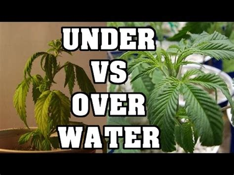 the effect of underwatering your marijuana plants water and watering cannabis