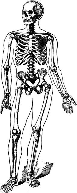 Human skeleton | ClipArt ETC