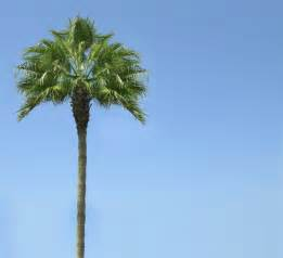 Palm Tree - palm trees a california trademark tres mali s