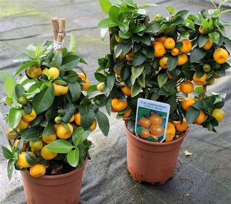 tanaman buah  bisa ditanam  pot kecil