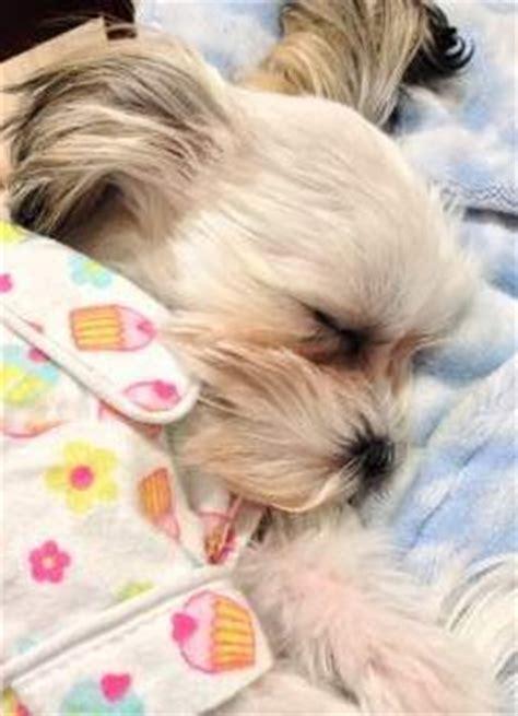 how to raise a shih tzu puppy shih tzu sleep and all sleeping issues