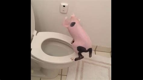 cat keeps pooping in bathtub hairless cat poops in toilet and flushes youtube