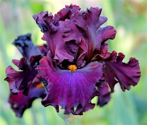 bearded iris world of irises quot talking irises quot bearded irises companion plants for pink and