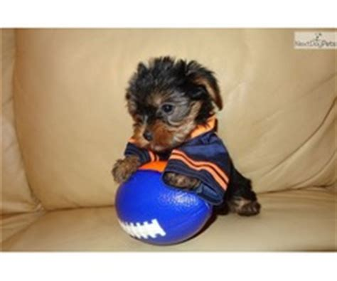 yorkie pu rehoming purebred adorable rottweiler puppies with microchip and pedigree animals