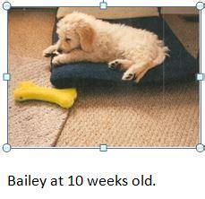 bailey doodle club bailey goldendoodle