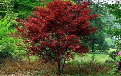 12 foot maple tree acer palmatum fireglow japanese maple tree fireglow does well in conditions the
