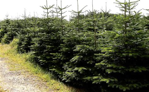 largest christmas tree farms comes early as 163 500k slashed from price of tree farm deadline news