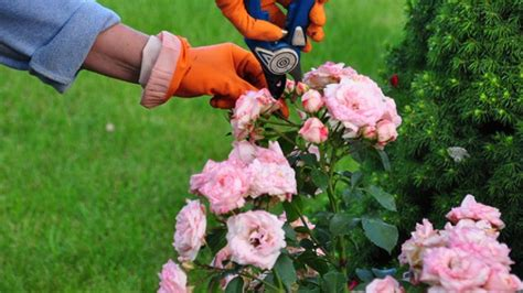 Bodendeckerrosen Schneiden by Bodendeckerrosen Pflanzen Und Schneiden Tipps