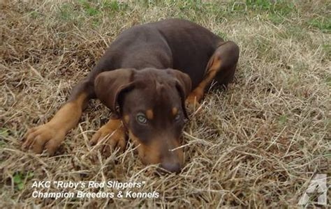 doberman puppies for sale in va doberman puppies for sale in suffolk virginia classified americanlisted
