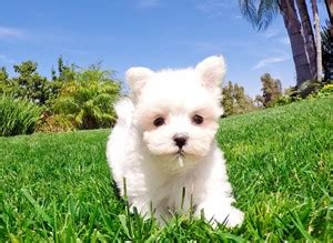 pug breeders southern california maltese puppies for sale in california maltese pups for sale in san diego maltese