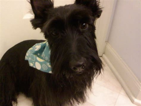 scottish terrier haircuts newhairstylesformen2014 com scottie haircut club doggie mobile grooming salon before