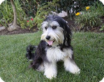tibetan terrier yorkie mix tansy adopted newport ca tibetan terrier yorkie terrier mix
