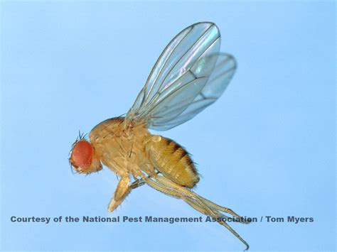 fruit flies get rid of fruit flies fruit fly management