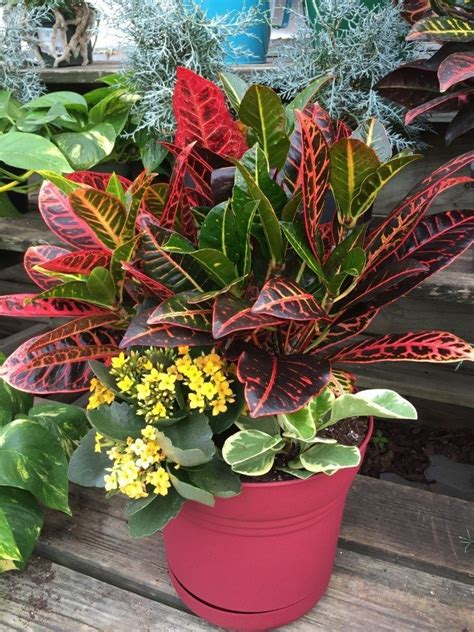 croton crotons plants container plants outdoor flowers