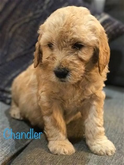 puppies for sale in idaho falls view ad goldendoodle puppy for sale idaho idaho falls usa