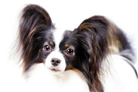papillon breed information american kennel club