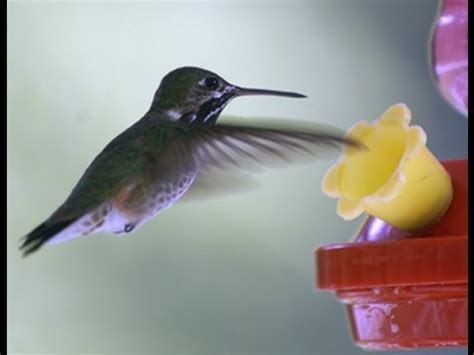 do hummingbirds chirp yahoo answers