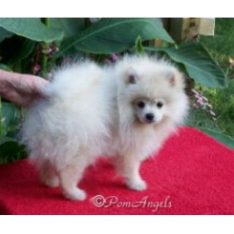 pomeranian rescue alabama touch poms pomeranian breeder in ethelsville alabama